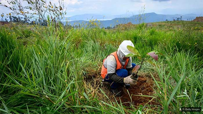 Thông thường, việc tái tạo thảm thực vật sau khi khai thác không sử dụng các loài cây ưa niken