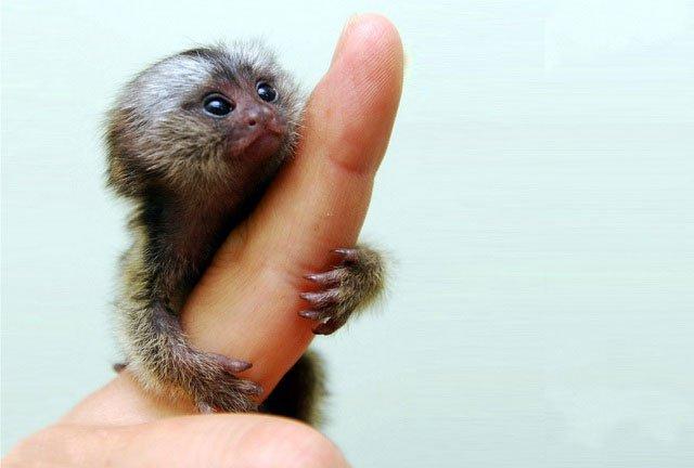 Khỉ đuôi sóc lùn là một trong những loài linh trưởng nhỏ nhất thế giới