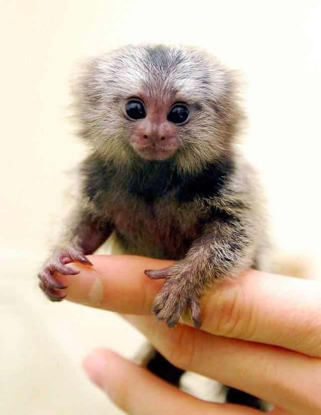 Đây là một trong những động vật đứng trước nguy cơ tuyệt chủng bởi môi trường sống bị phá hủy