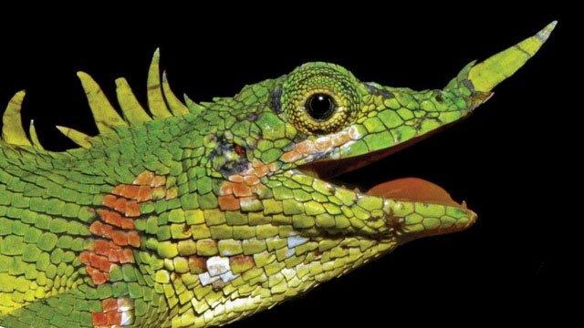 Loài thằn lằn Harpesaurus modiglianii vô cùng đặc biệt với sừng mọc ra từ mũi.