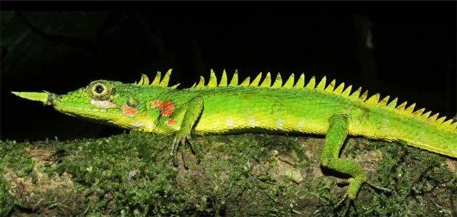 Harpesaurus modiglianii được tìm thấy lần đầu tiên vào năm 1933.