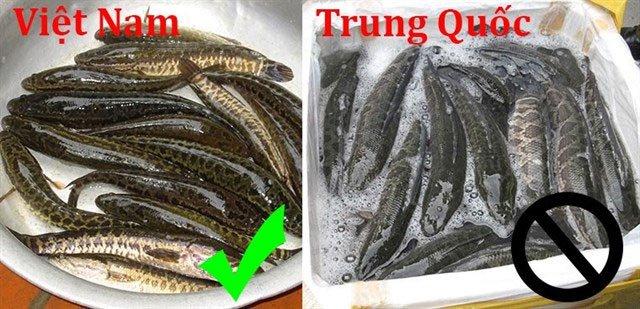 Cá lóc Trung Quốc to sàn sàn nhau, hay nằm ườn dài do thời gian vận chuyển lâu.