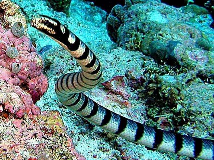 Rắn biển Belcher là loài độc nhất thế giới