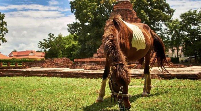 Dịch bệnh mới nhắm vào ngựa khiến giới chức Thái Lan đau đầu.