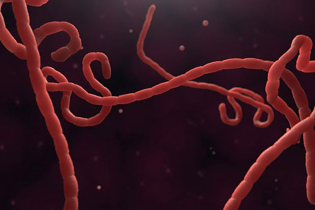 Virus Ebola là một loài kí sinh trùng, kí sinh tại tế bào trong vật chủ.