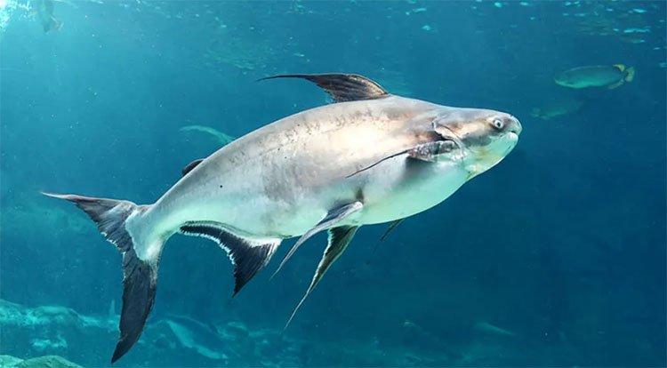 """Quần thế các loài cá lớn trên quy mô toàn cầu đang có xu hướng """"biến mất"""" dần dần."""