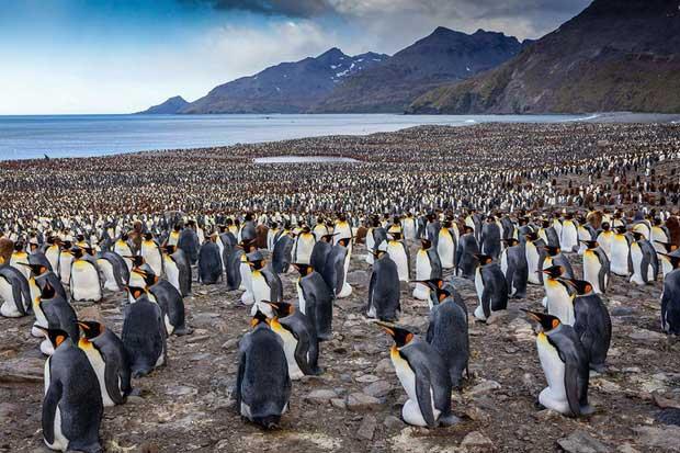 Chim cánh cụt hoàng đế tụ tập về lãnh địa phía nam Đại Tây Dương để bắt đầu mùa sinh sản
