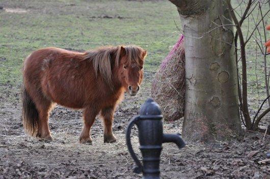 Tuy nhỏ bé nhưng nó được đánh giá là một trong những giống ngựa thông minh nhất hiện nay