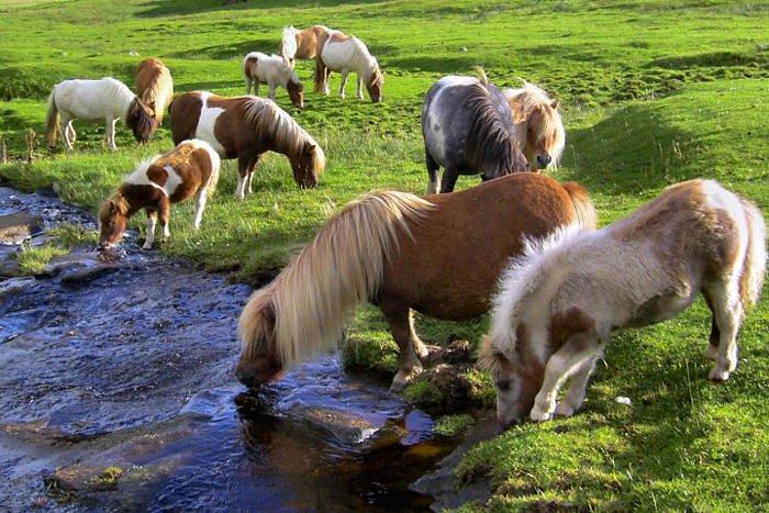 Loài ngựa lùn độc nhất thế giới
