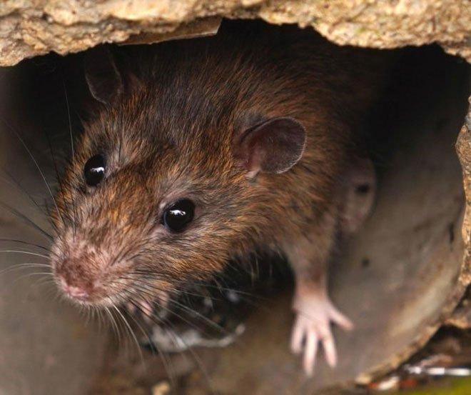 Chuột gây ra bệnh Hantavirus