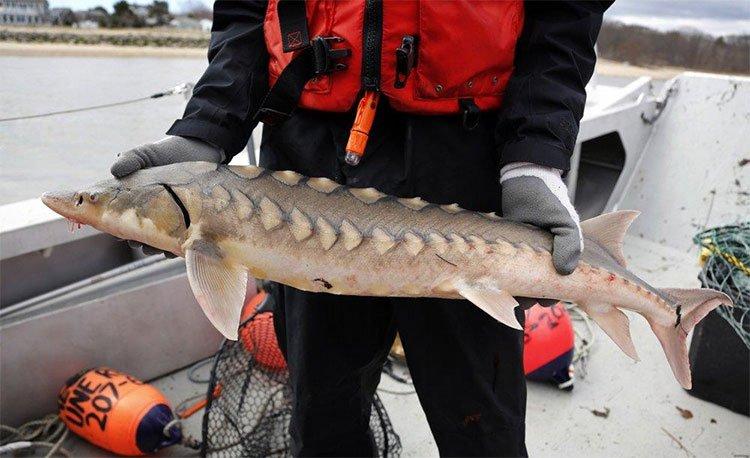 Một nhà khoa học cầm trên tay con cá tầm mũi ngắn