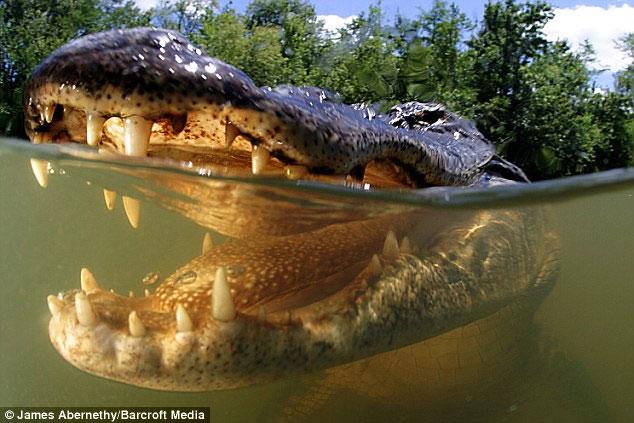 Lưỡi cá sấu liền với hàm dưới.