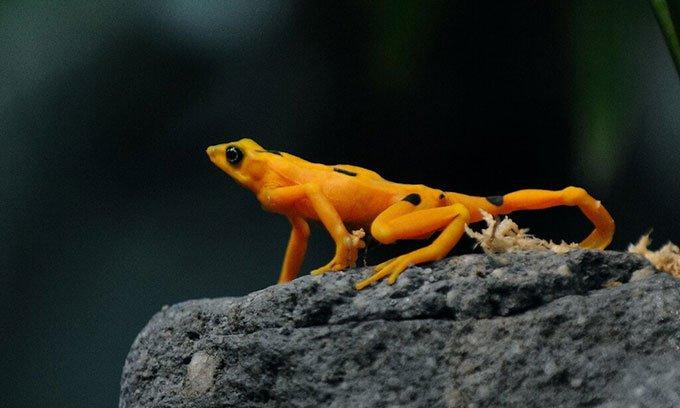Một con ếch vàng Panama (Atelopus zeteki) bên trong Vườn bách thú El Nispero.