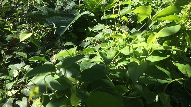 Lá giang là loại rau phổ biến, giá rẻ ở Việt Nam.