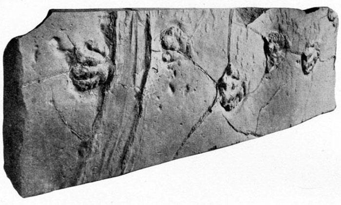 Vệt rãnh do đá tự di chuyển để lại giữa các dấu chân khủng long.