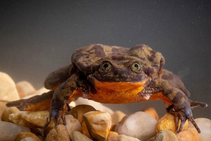 Chú ếch Sehuencas cô đơn nhất thế giới.