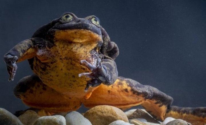 Chàng ếch Romeo.