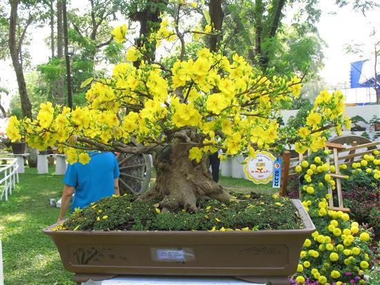 Mai đẹp không chỉ ở hoa mà quý ở dáng cây.