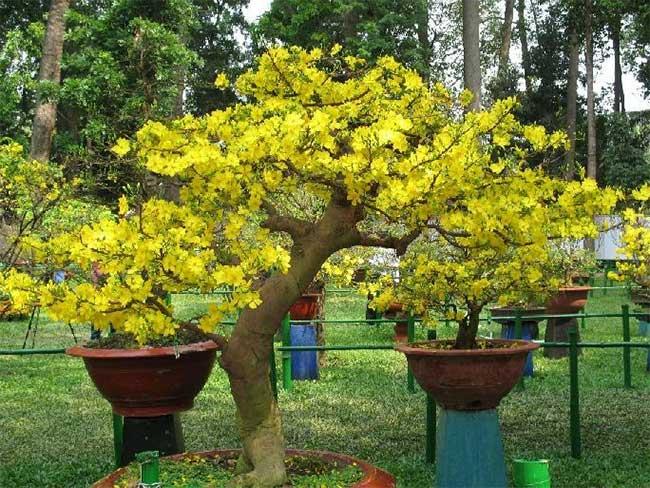Hãy chọn cành hoặc cây mai có nụ vừa phải và phân bố đẹp trên cả cành.