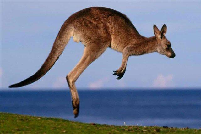 Khi hoảng sợ, Kangaroo thường chạy về phía có nước