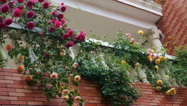 Trồng cây hồng leo nơi đất cao ráo, tránh úng, nếu trồng chậu, bồn cần có thể tích lớn.