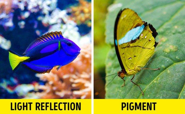Chỉ duy nhất bướm cánh olive mang màu xanh.