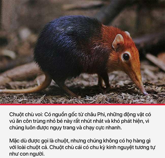 Chuột chù voi