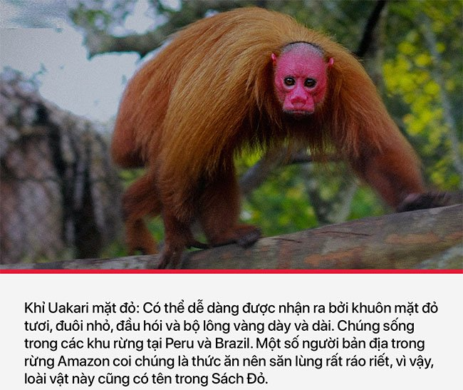 Khỉ Uakari mặt đỏ