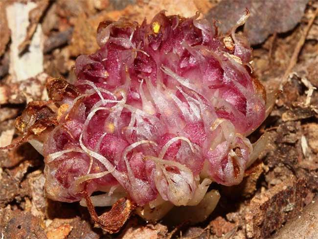 Hoa lan Rhizanthella speciosa thường có màu trắng và hồng