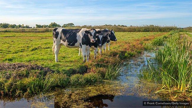 Bò sữa là yếu tố chính quyết định chiều cao của người Hà Lan.