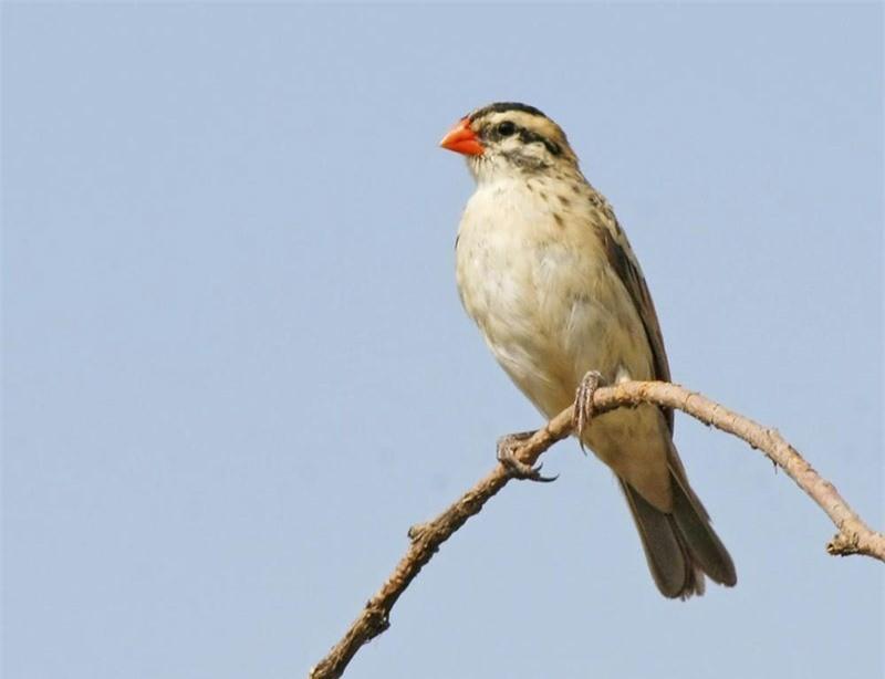 Loài chim nhỏ đẹp nhất thế giới