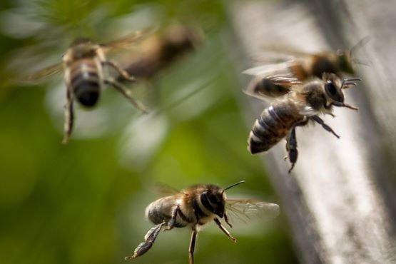 Những con ong bay gần một tổ ong ở Wehrheim, gần Frankfurt, Đức.
