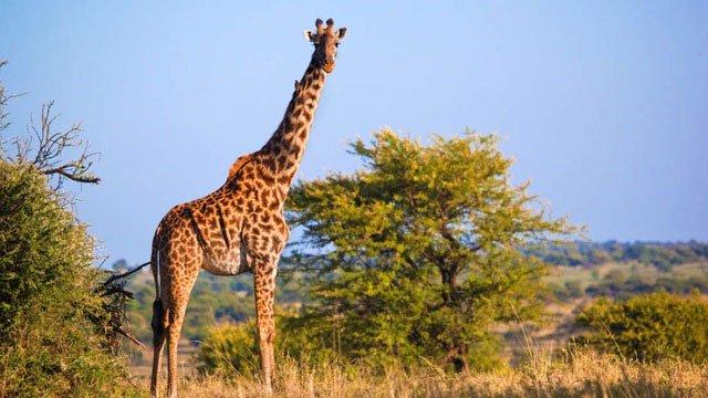 Nếu hươu cao cổ là điểm cao nhất, thì khả năng là chúng sẽ có nguy cơ bị sét đánh cao nhất trong khu vực