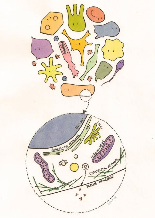 Hình minh họa một tế bào của người.