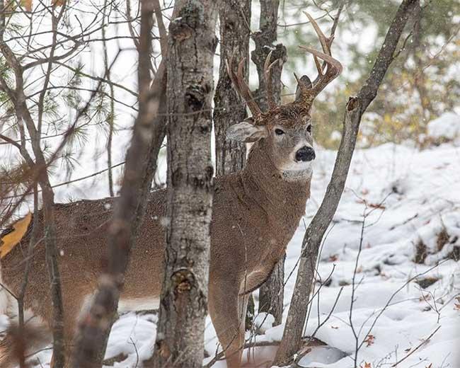 Hươu ba sừng quý hiếm được phát hiện ở khu rừng Michigan.