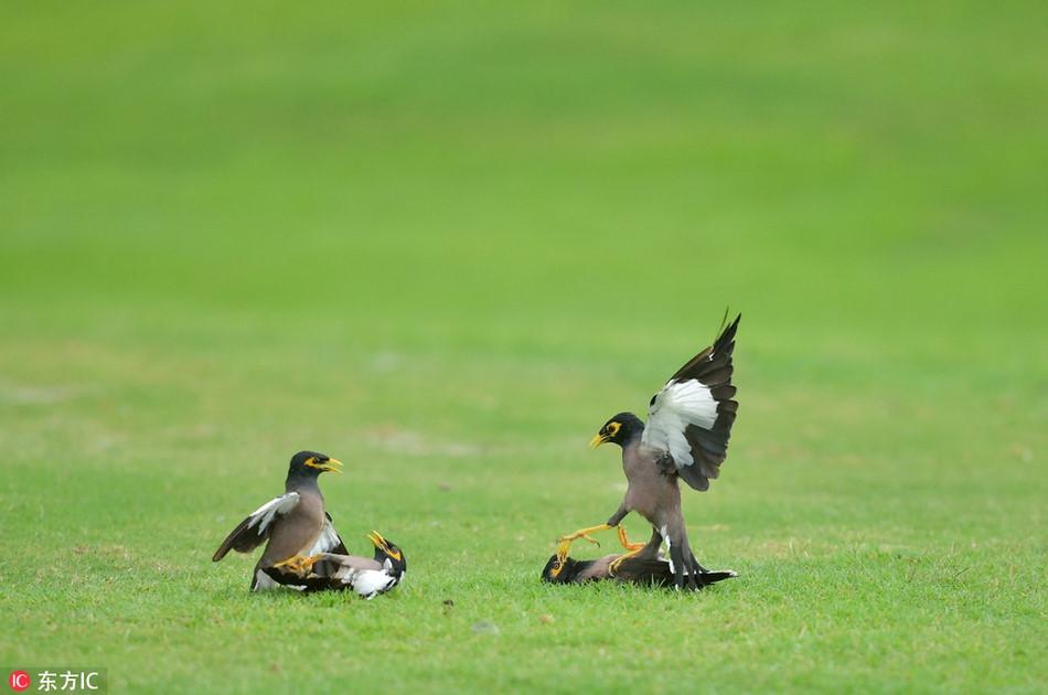 Chim sao chien dau tap the kich tinh tren san golf-Hinh-4