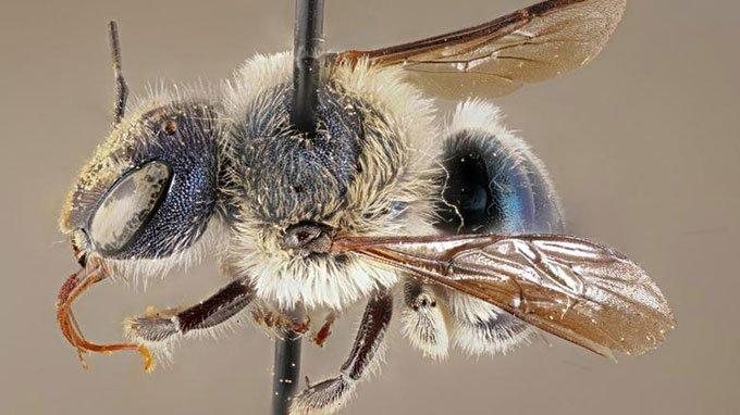 Một mẫu vật O. calaminthae thu thập vào năm 2002.