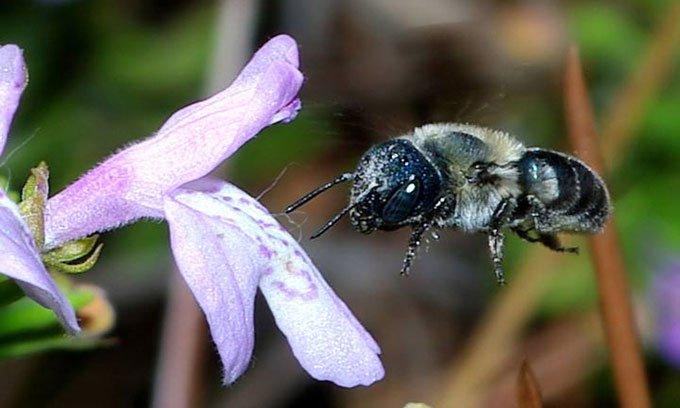 Một con ong calaminthae xanh tìm mật hoa C. ashei.