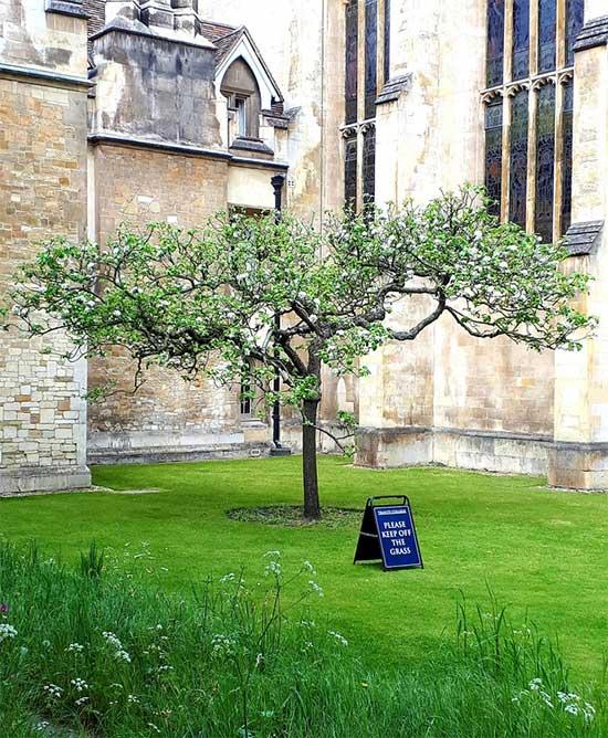 Một cây được trồng ở Cao đẳng Trinity, Cambridge.