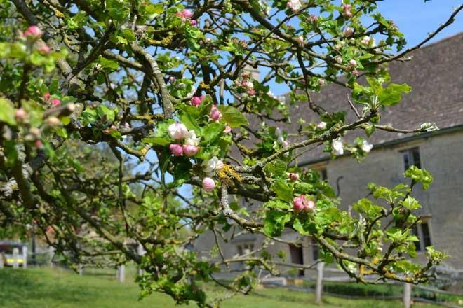 Chúng đều thuộc giống táo Flower of Kent hiếm gặp thời nay.