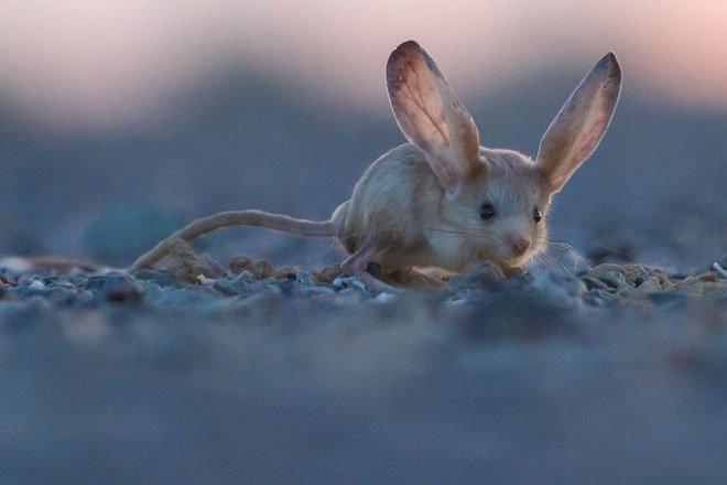 Chuột nhảy jerboa tai dài có khả năng vận động rất thất thường