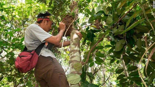 Một thành viên trong đội hướng dẫn viên đã trèo lên cây để khám phá tổ ong