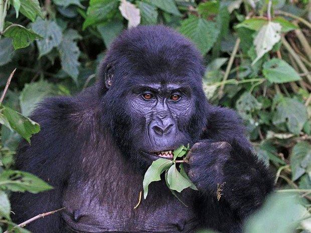 Khỉ đột núi