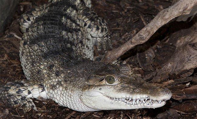 Cá sấu Philippines