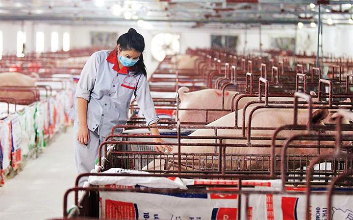Lạm dụng kháng sinh trong chăn nuôi: Khi nào chấm dứt?