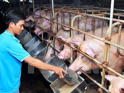 Chăm sóc đàn lợn nuôi tại Thành phố Hồ Chí Minh. Ảnh: An hiếu/TTXVN.