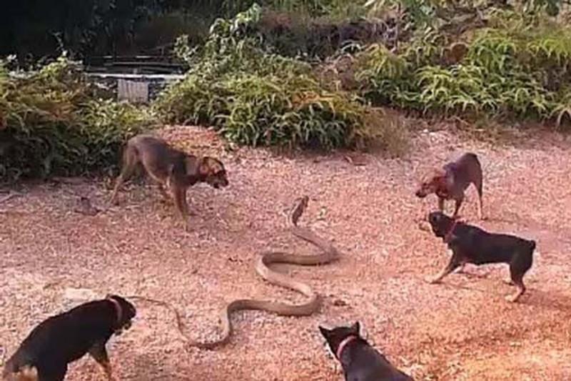 Video: Dan cho nha dai chien ran ho mang khong lo