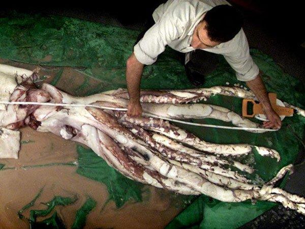 Con mực dài nhất từng đo được có chiều dài hơn 13 m