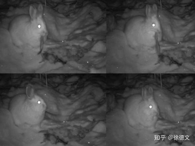 Những con thỏ chân tuyết chuyển sang ăn thịt thay vì ăn cỏ.