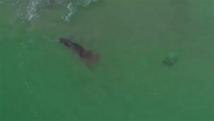 Cá mập trắng tung đòn tấn công khiến máu loang khắp nơi.